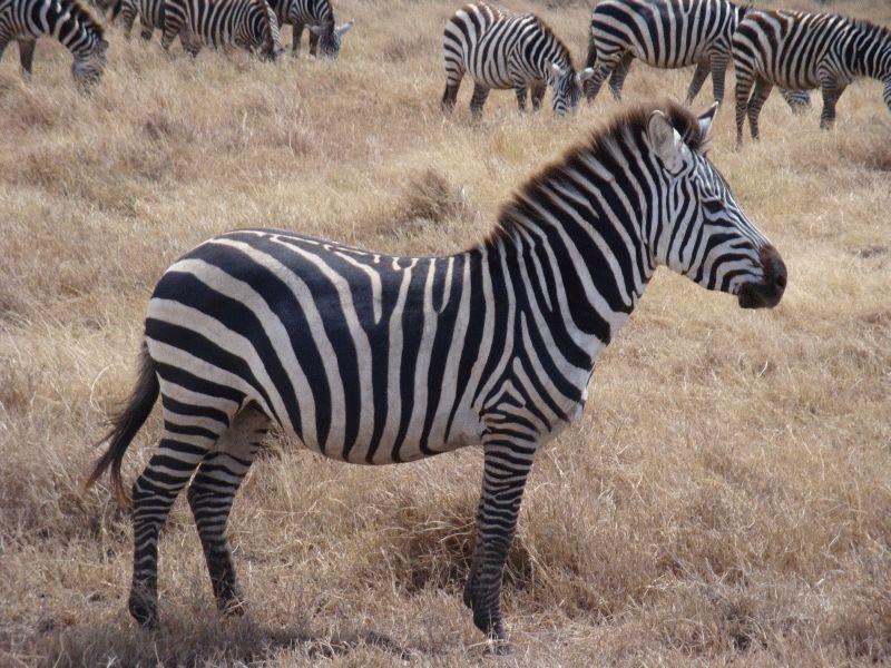 зебры в хорошем качестве